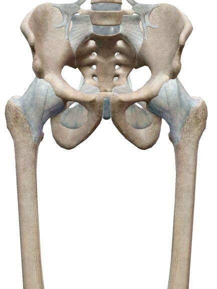 股関節の靭帯