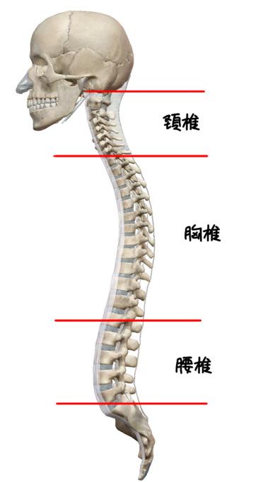 背骨の生理的弯曲のイラスト
