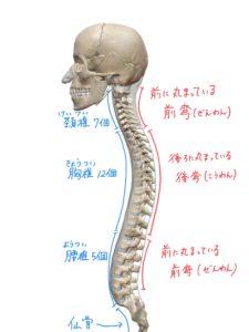 背骨のS字カーブのイラスト